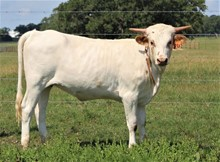RJF Cha-Ching X Rural Safari - H Calf  Tag 936